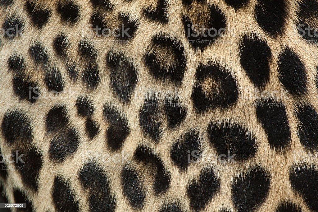 Persian leopard (Panthera pardus saxicolor). Fur texture. stock photo