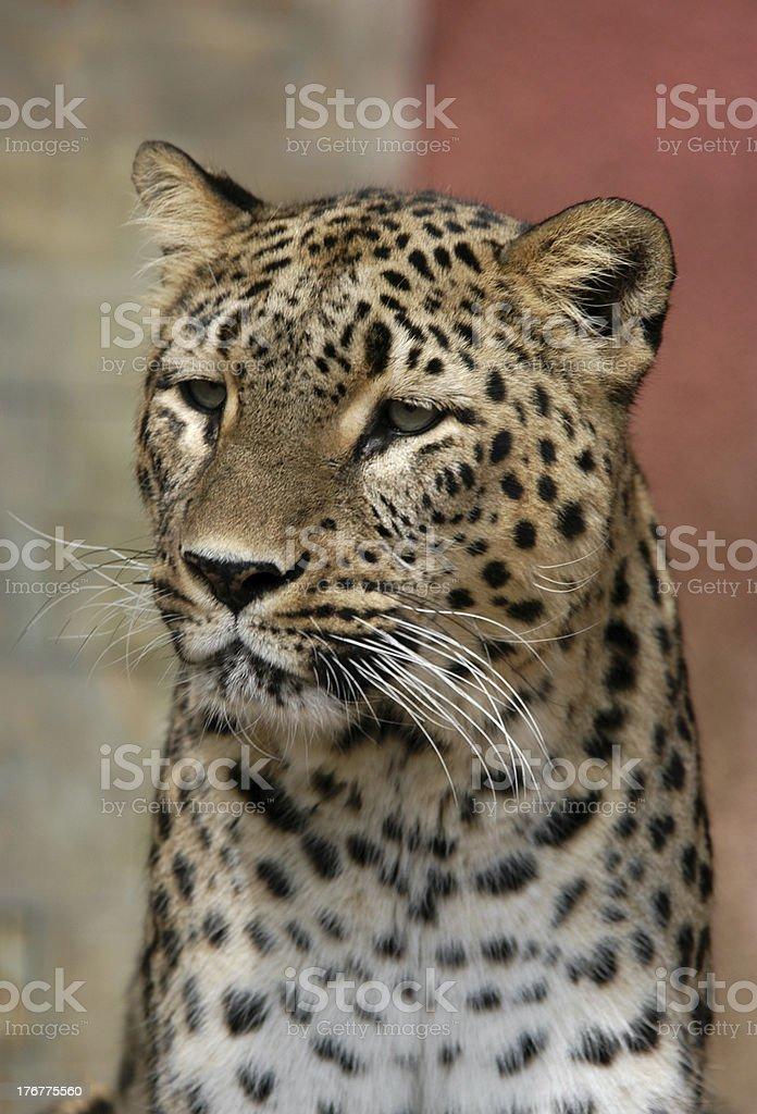 Persian Leopard royalty-free stock photo