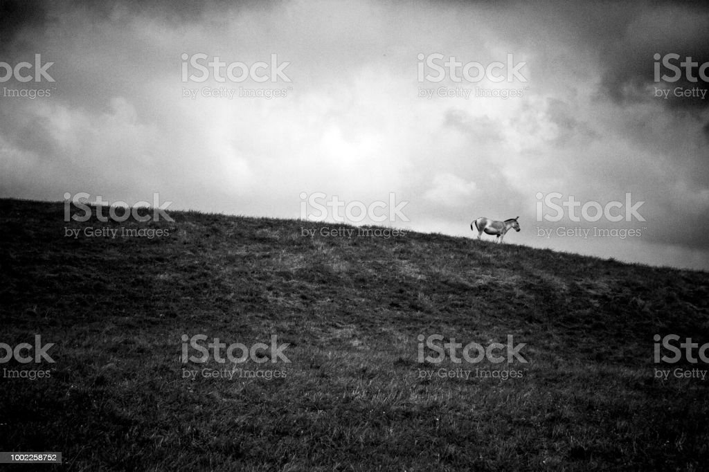 Persian Onager on a Hill stock photo