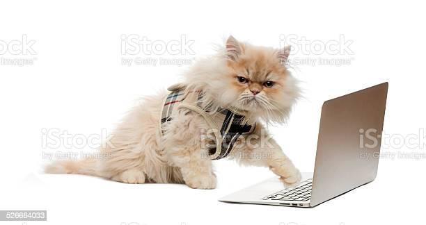 Persian pawing at a laptop picture id526664033?b=1&k=6&m=526664033&s=612x612&h=bwmgtx44nfup1gxettvys w7rvecndunlof27ybhjsw=