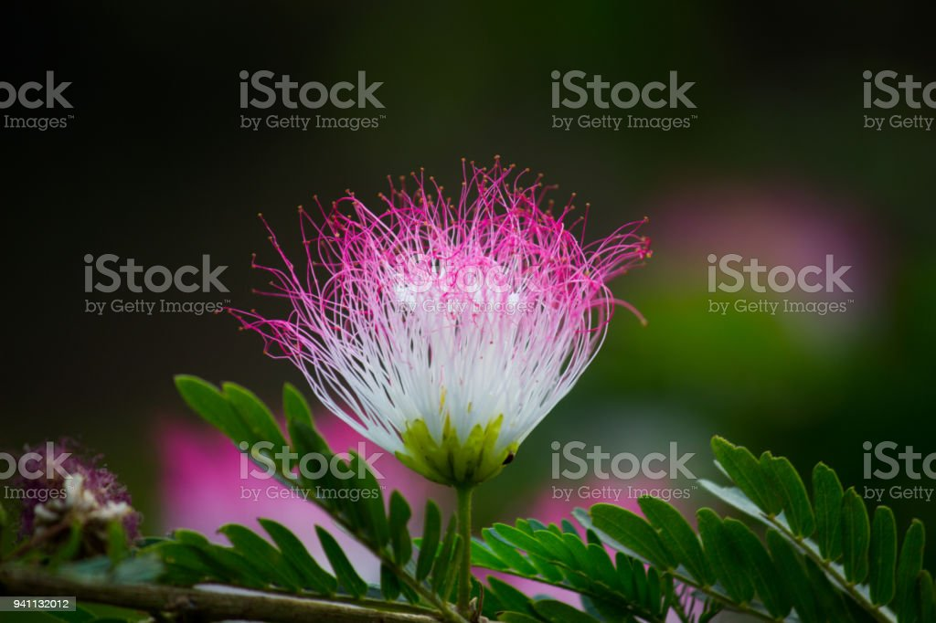 Persian silk tree flower stock photo more pictures of beauty istock persian silk tree flower royalty free stock photo mightylinksfo