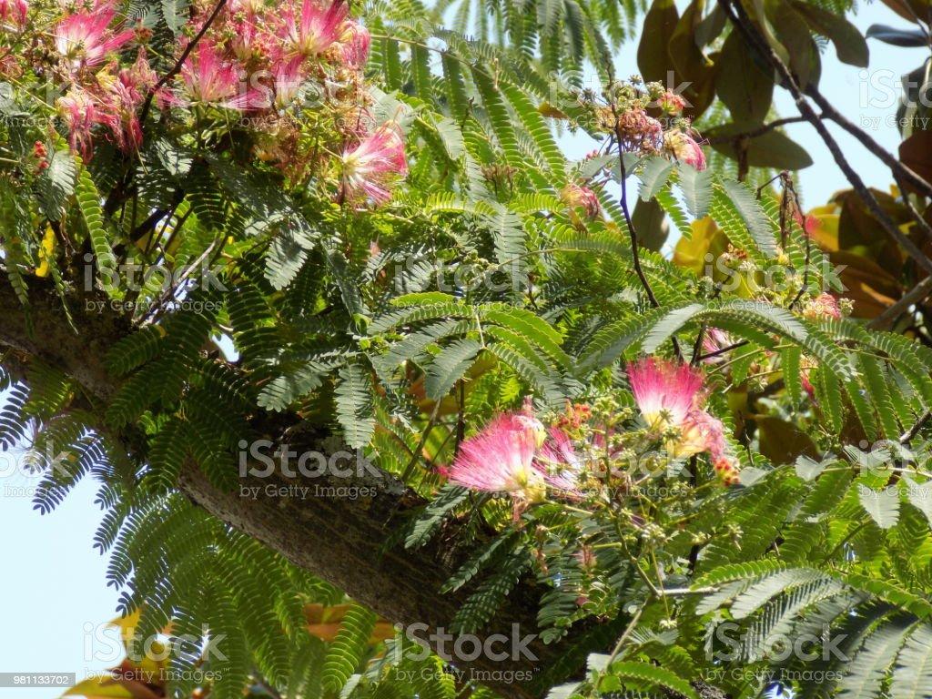Persian Silk Tree Or Pink Silk Tree Treetop With Flowers Stock Photo
