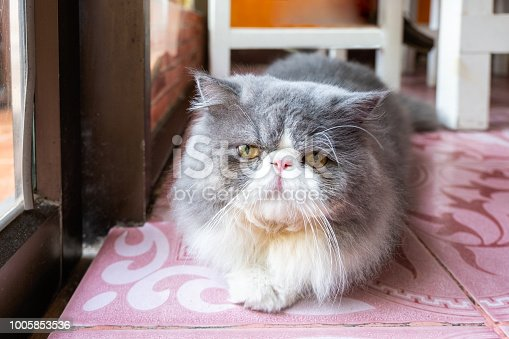 Persian white gray cat fluffy long hair lying with looking to front