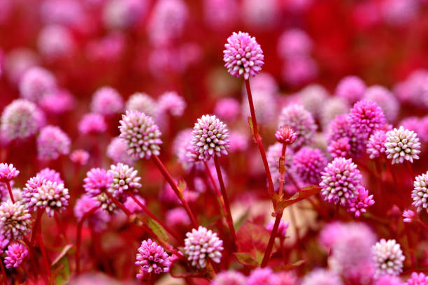 persicaria caprtata /pink knotweed / smartweed flower - knotweed stock pictures, royalty-free photos & images