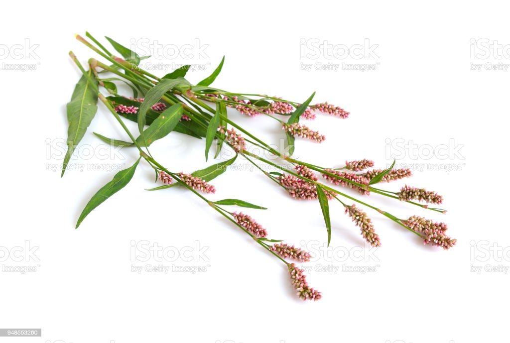 Persicaria maculosa. Common names  lady's thumb, spotted lady's thumb, Jesusplant, and redshank. Isolated. stock photo