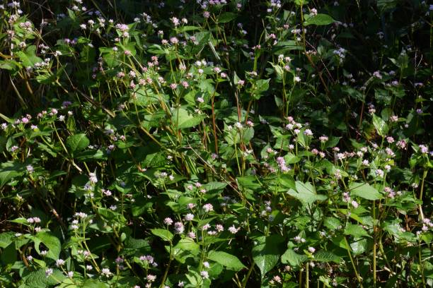 persicaria thunbergii flowers - knotweed stock pictures, royalty-free photos & images