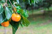 istock Persimmon fruit on persimmon tree in garden. 1011181578