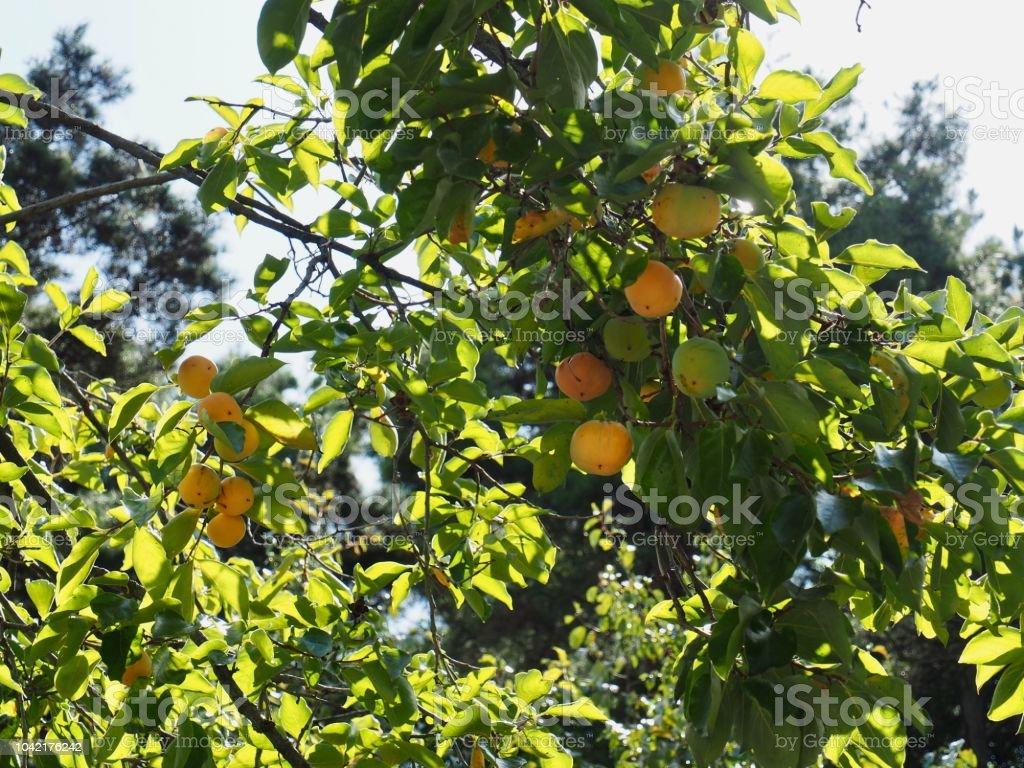 Un caqui maduro en un árbol de caquis, Corea - foto de stock