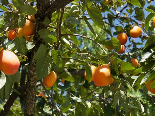 eine kaki reif in einen kaki-baum, korea - sharonfrucht stock-fotos und bilder