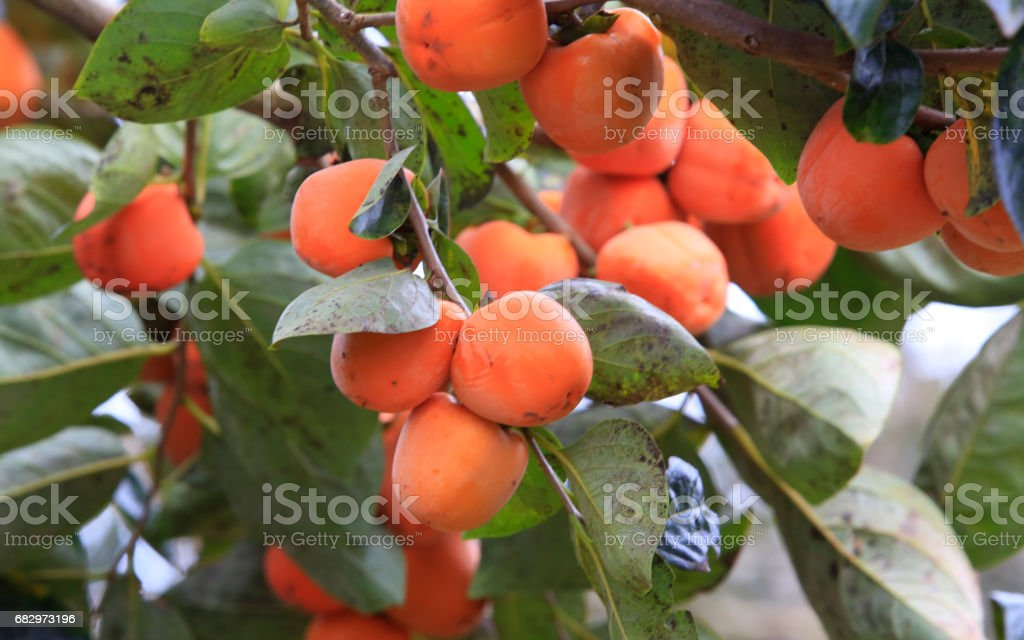 Persimmon tree with many persimmons in autumn royalty-free stock photo