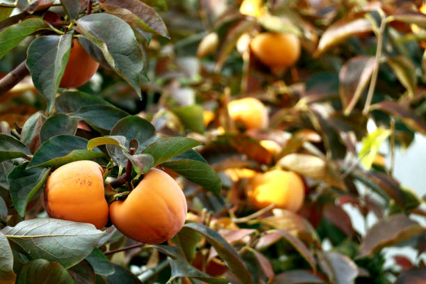 persimmon tree with ripe orange fruits in the autumn garden - diospiro imagens e fotografias de stock