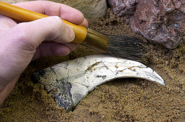 person brushing dirt off a fossil - fossil stock photos and pictures