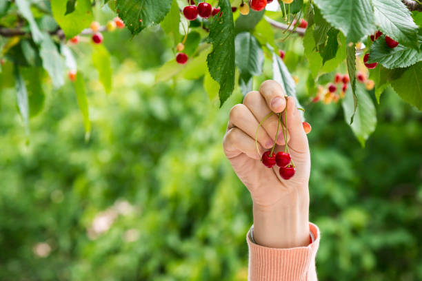 Person collecting cherries from the tree stock photo