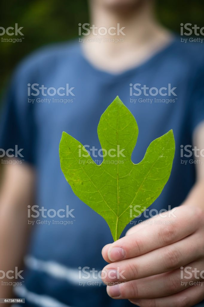 Person Holding a Sassafras Leaf to the Camera stock photo