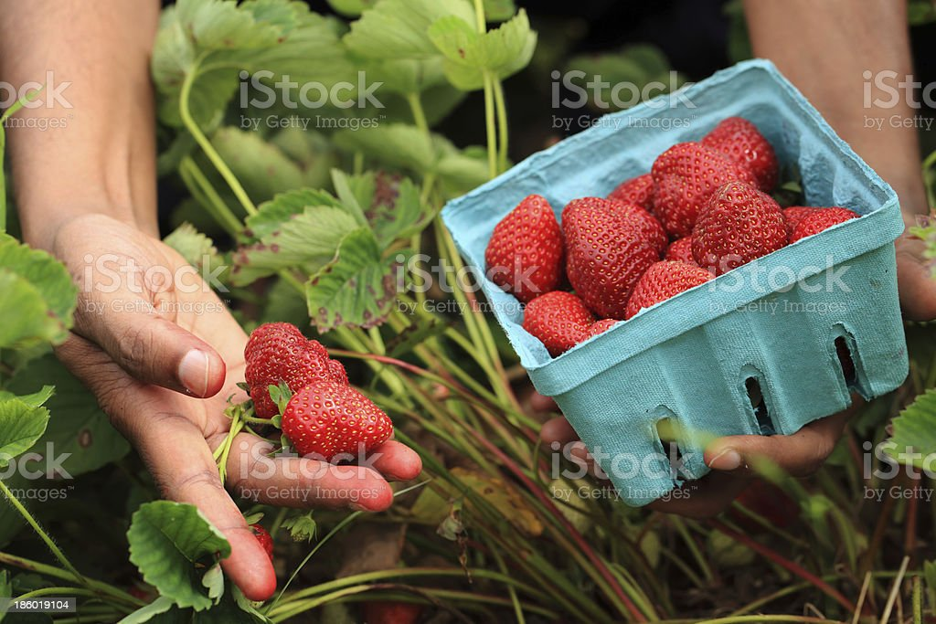 Person holding strawberries royalty-free stock photo