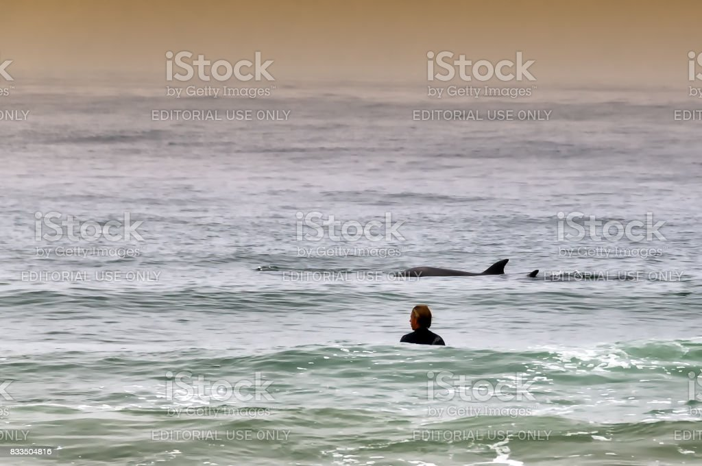 Person in the water watching two dolphins swimming nearby in California beach stock photo