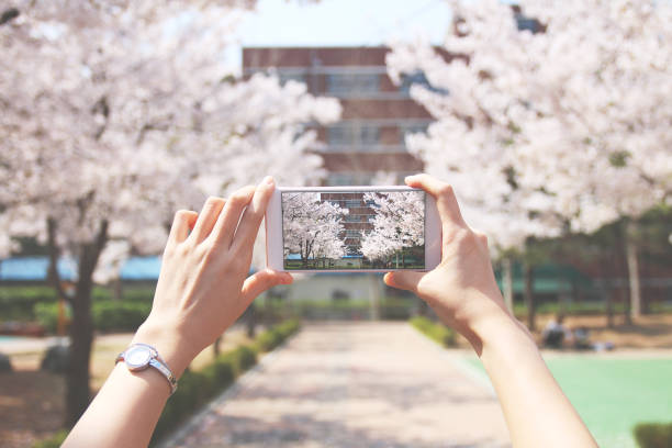 Person is taking photos cherry blossoms road stock photo