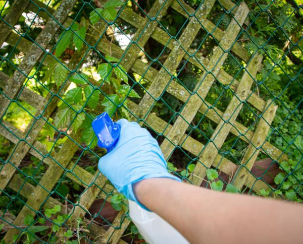 eine person, die poison ivy mit unkrautvernichter tötet - poison ivy pflanzen stock-fotos und bilder
