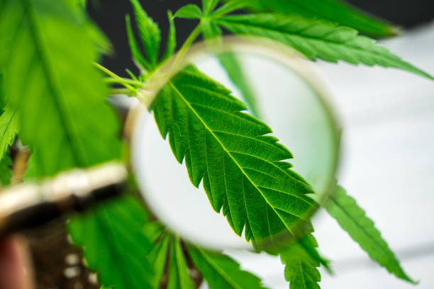 Person looks at medical marijuana plant with magnifying glass stock photo