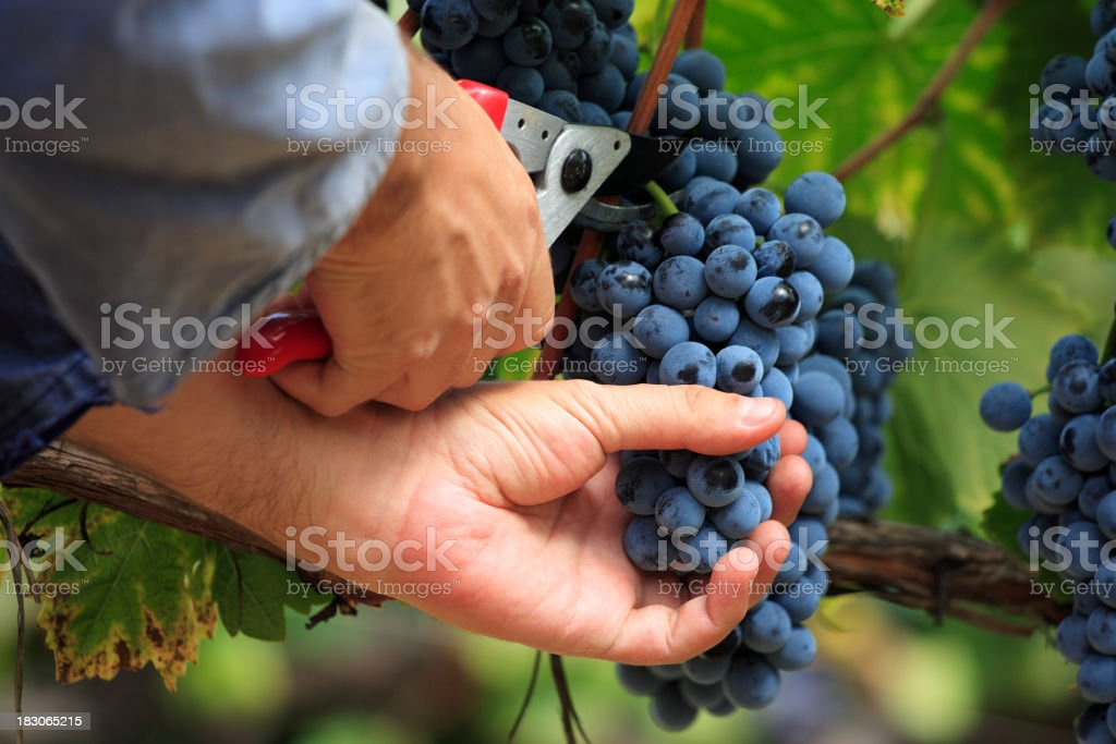 A person picking blue grapes from the vine stock photo