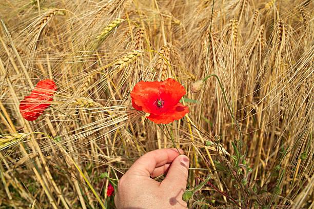Person pflücken poppy – Foto