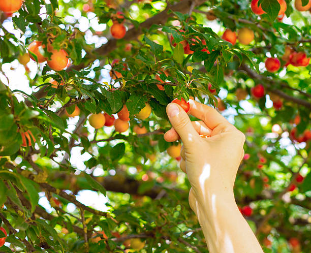 personne achetant mirabelle de fruits rouges - mirabelle photos et images de collection