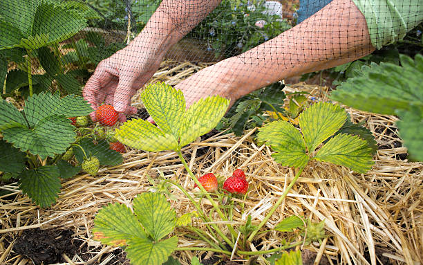 Person Picking strawberries, home grown fruit and vegetable garden. stock photo