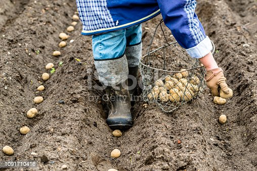 Person planting potatoes in organic garden, local farming concept