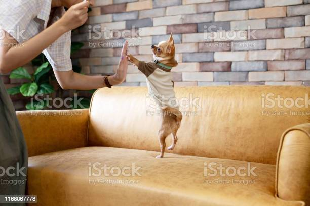 Person playing with small dog on sofa picture id1166067778?b=1&k=6&m=1166067778&s=612x612&h=beoxsfkg3y1bqkep63mnfmdffciy13 v c accooi 4=