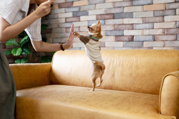 Person playing with small dog on sofa stock photo