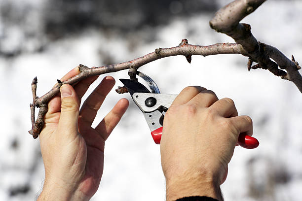person pruning a tree with red clippers - fruitboom stockfoto's en -beelden
