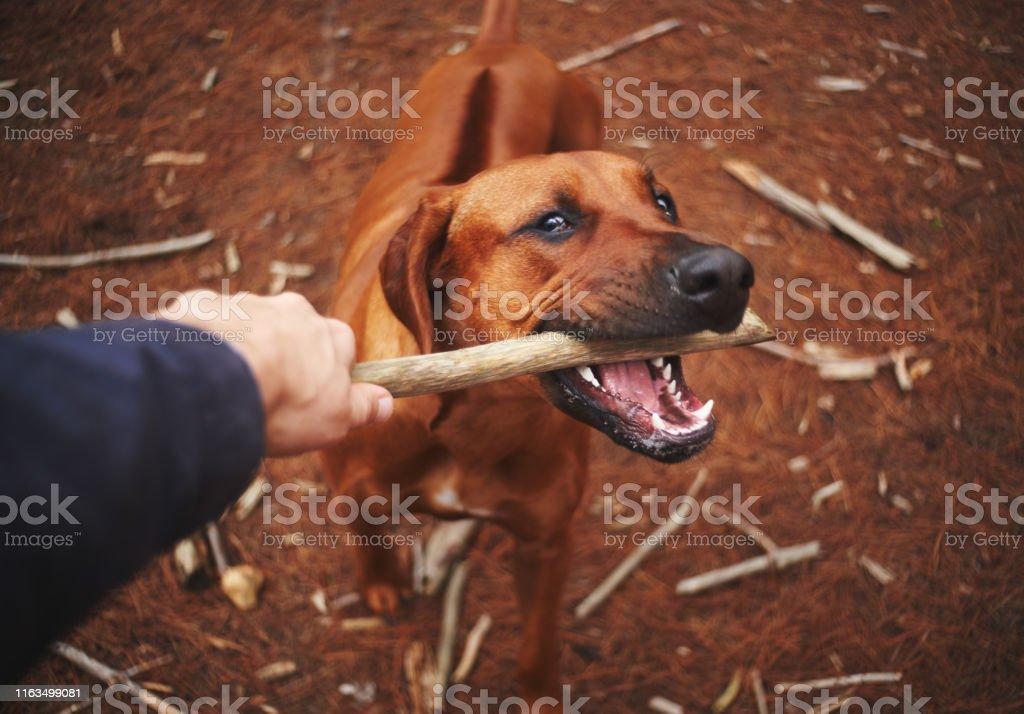 Close-up of dog and a person playing tug of war with stick