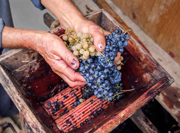 Person putting grapes in manual grape crushe stock photo