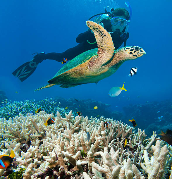 person scuba diving near sea turtle, great barrier reef - great barrier reef stock pictures, royalty-free photos & images