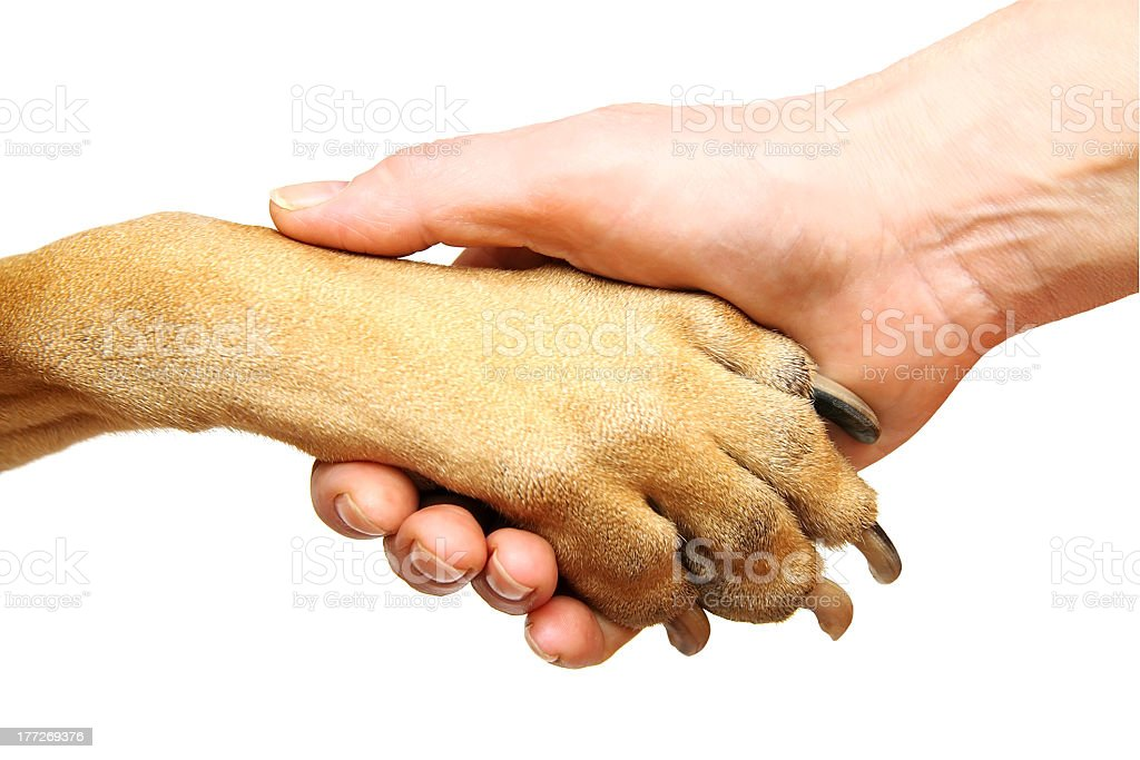 Person shaking hands with a tan-colored dog stock photo