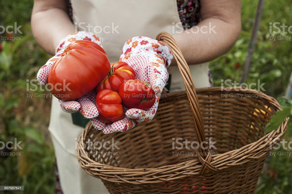 Person showing  Tomatoes stock photo