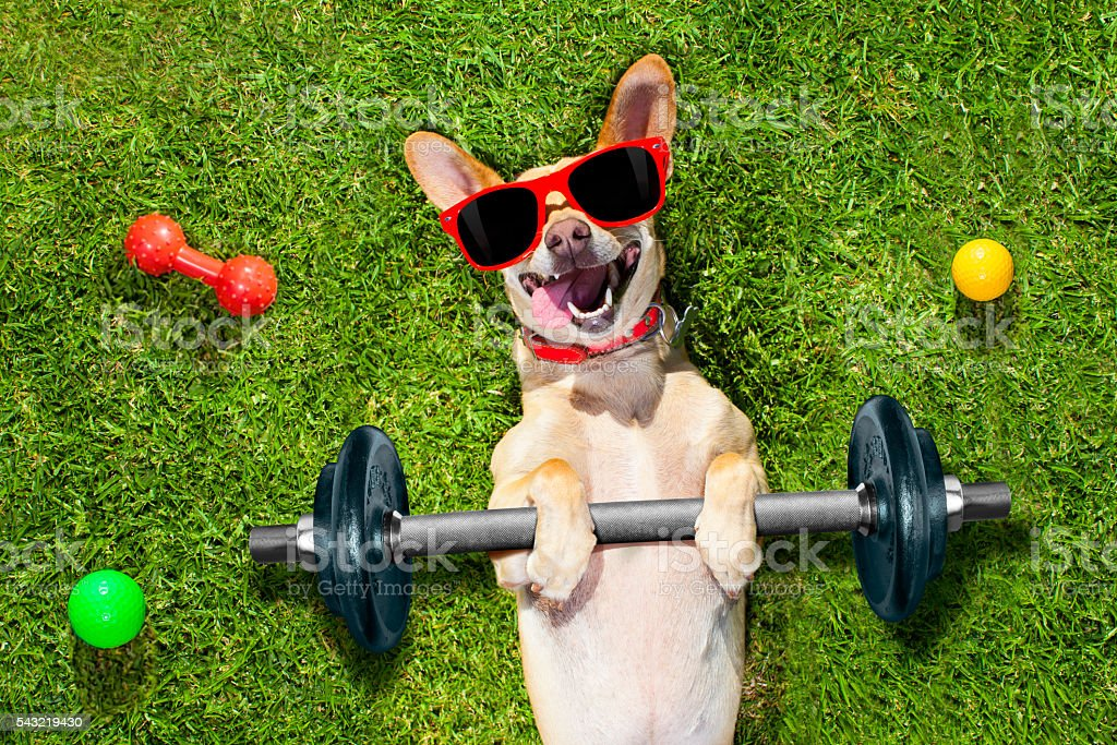 chihuahua dog doing and exercising sport with Dumbbell bar in the...