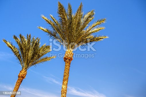 Perspective down view of fresh green palm trees in tropical region against blue vibrant sky in summer.