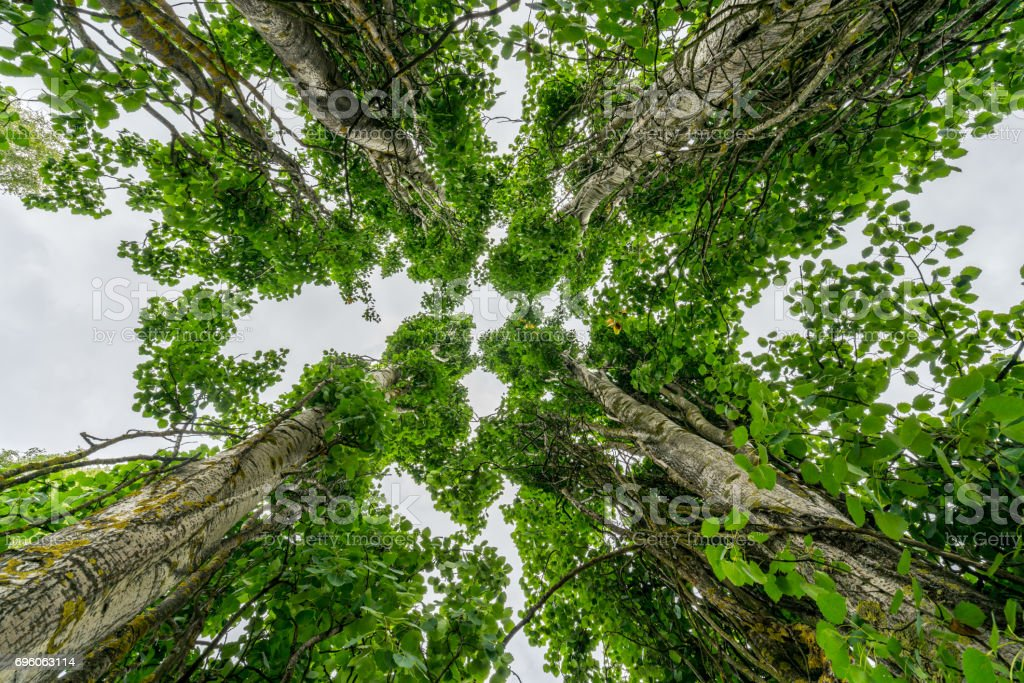 Perspective in nature, looking up at four large giant leaf trees against pale sky. stock photo