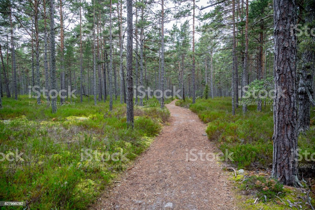Perspective of walking trail in a pine forest national park. stock photo