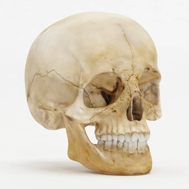 Perspective view of human skull - 3D Render Perspective view of human skull - 3D Render human skull stock pictures, royalty-free photos & images