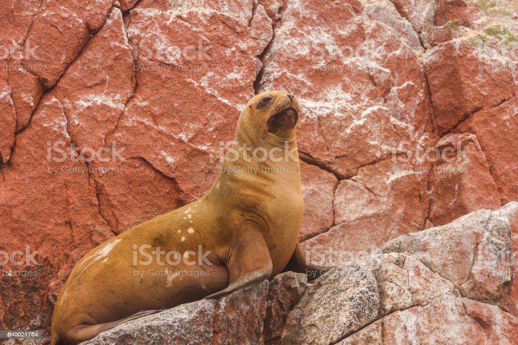 Peru, Paracas, Ballestas Islands. Sea lion on the rock. stock photo