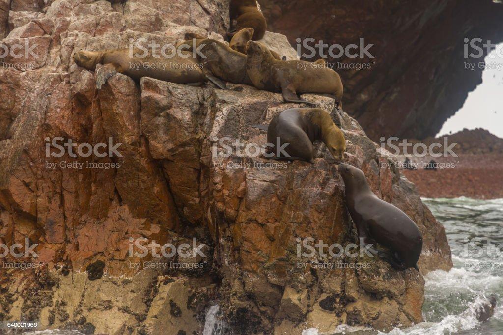 Peru, Paracas, Ballestas Islands. Sea lions on the rock. stock photo