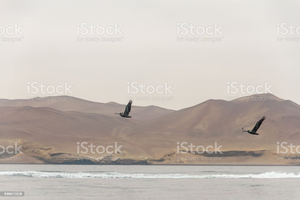 Peru, Paracas, Ballestas Islands. Two pelicans are flying by. stock photo