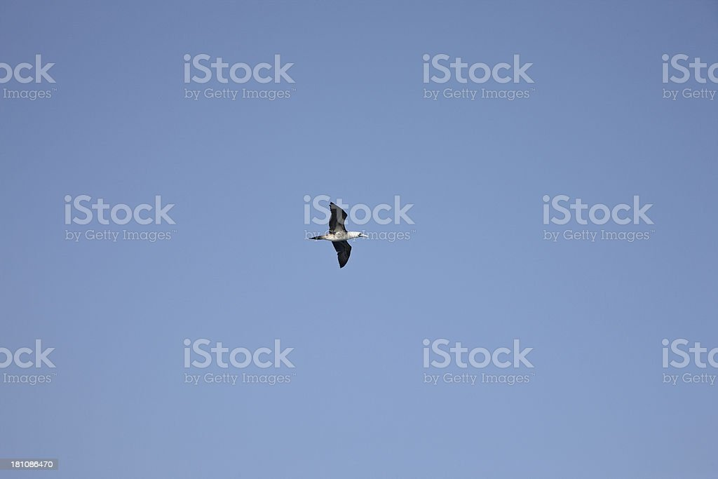 Peruvian booby in flight blue sky royalty-free stock photo