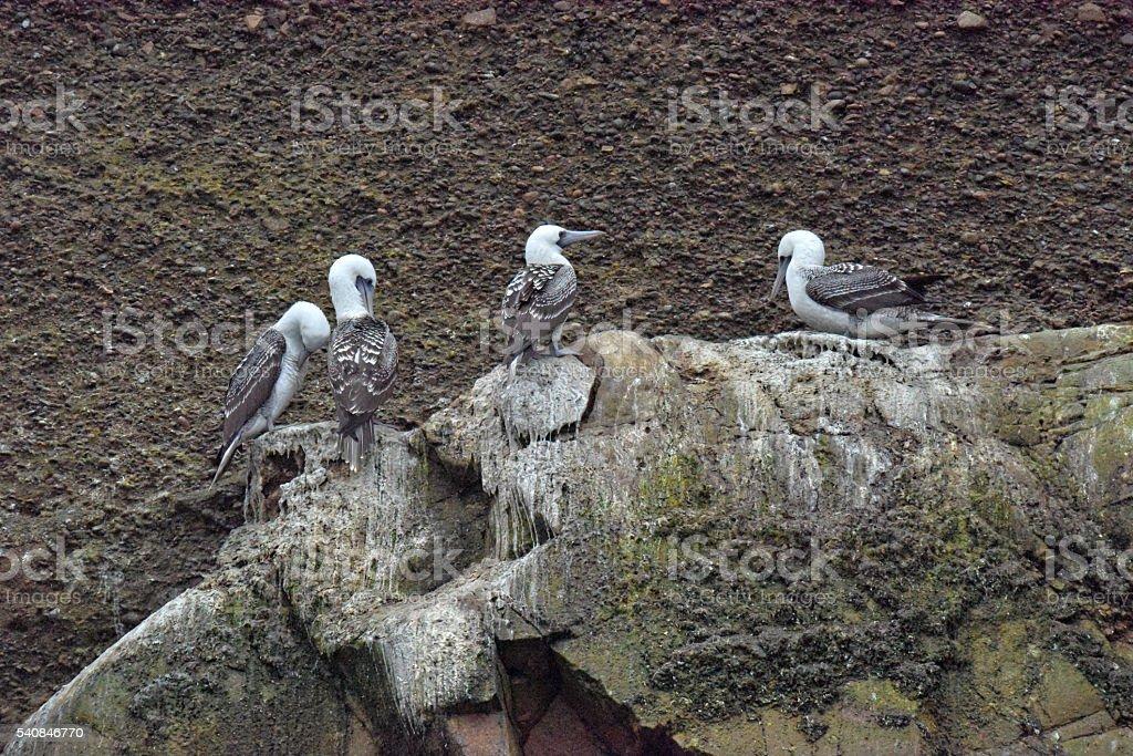 Peruvian booby stock photo