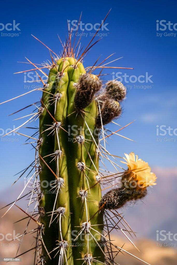 Peruvian Cactus closeup stock photo