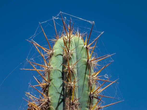 Peruvian cactus with cobwebs stock photo