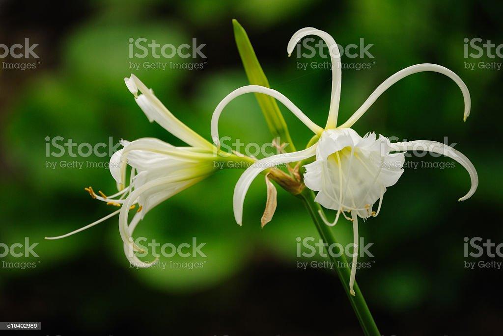 Peruvian Daffodil stock photo