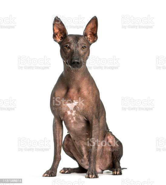 Peruvian Hairless Dog 3 Years Old Sitting In Front Of White Background Stock Photo - Download Image Now